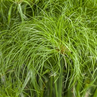 Cyperus Graceful Grasses Prince Tut Dwarf Egyptian Papyrus