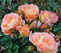 Shrub Rose The Peach Drift® Rose