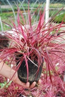 Pennisetum setaceum Fountain Grass