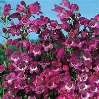 Penstemon x mexicali Beardtongue Miniature Bells