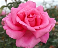 Perfume Delight Hybrid Tea Rose