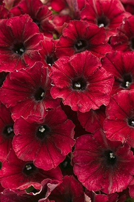 Petunia hybrid Supertunia® Black Cherry