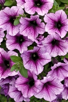 Petunia hybrid Supertunia® Bordeaux&#0153