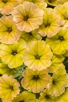 Petunia hybrid Supertunia® Honey