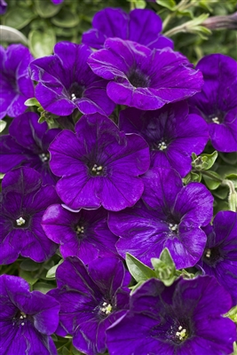 Petunia hybrid Supertunia® Mini Blue