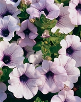 Petunia hybrid Supertunia® Mini Blue Vein