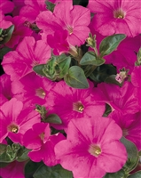 Petunia hybrid Supertunia® Mini Bright Pink