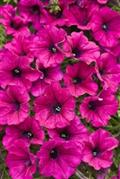 Petunia hybrid Supertunia® Mini Purple