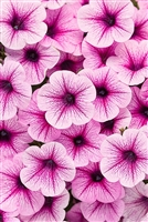 Petunia hybrid Supertunia® Mini Rose Veined