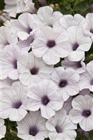 Petunia hybrid Supertunia® Mini Silver