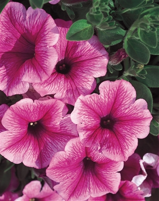 Petunia hybrid Supertunia® Mini Strawberry Pink