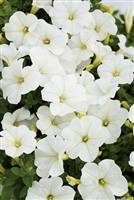 Petunia hybrid Supertunia® Mini White