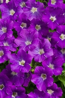 Petunia hybrid Supertunia® Morning Glory Charm