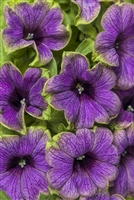 Petunia hybrid Supertunia® Picasso In Blue