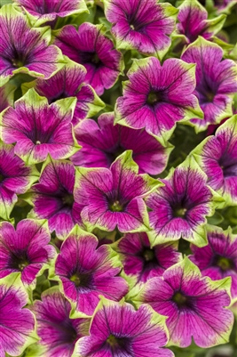 Petunia hybrid Supertunia Picasso in Purple