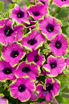 Petunia hybrid Supertunia® Pretty Much Picasso