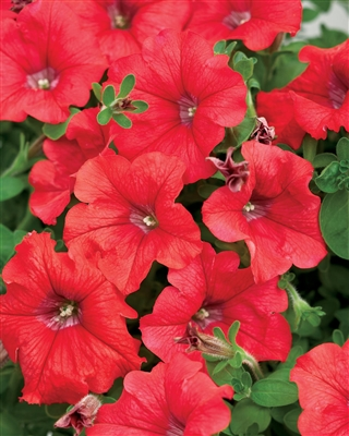 Petunia hybrid Supertunia® Red