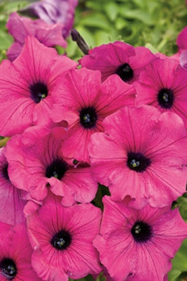 Petunia hybrid Supertunia® Royal Magenta