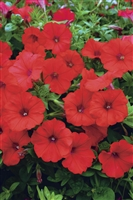 Petunia hybrid Surfinia® Red