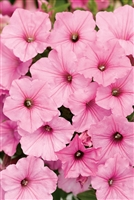 Petunia hybrid Supertunia® Vista Bubblegum®