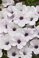Petunia hybrid Supertunia® Vista Silverberry
