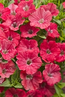 Petunia hybrid Supertunia® Watermelon Charm