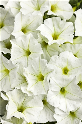 Petunia hybrid Supertunia® White