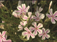 Phlox Creeping Candy Stripe