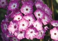 Phlox paniculata Flame Purple Eye