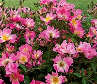 Shrub Rose The Pink Drift® Rose