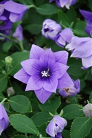 Platycodon Balloon Flower Astra Semi-Double Blue