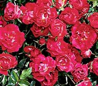 Shrub Rose The Red Drift® Rose