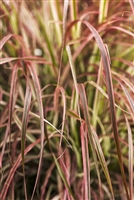 Graceful Grasses® 'Fireworks' Variegated Red Fountain Grass