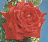 Red Masterpiece Hybrid Tea Rose