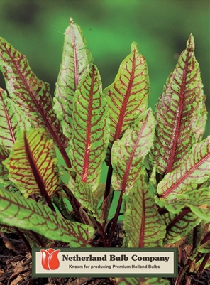 Rumex sanguineus Red Veined Dock