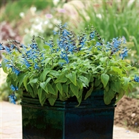 Salvia guarantica Black & Blue