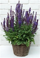 Salvia nemorosa New Dimension Blue