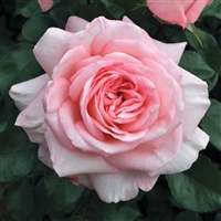 SavannahHybrid Tea Rose