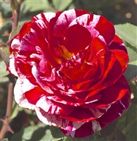 Scentimental&#0153 Floribunda Rose