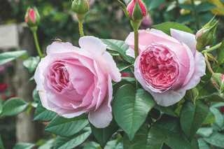 "Scentuousâ""¢ Shrub Rose"
