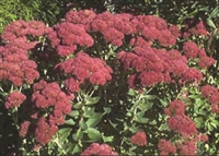 Sedum maximum Stonecrop 'Autumn Joy'