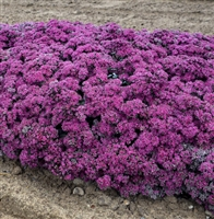 Sedum Rock 'N Grow Superstar Stonecrop