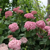 Smooth Hydrangea arborescens Invincibelle Spirit ll