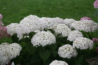 Smooth Hydrangea arborescens Invincibelle Wee White
