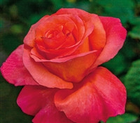 Sundowner Grandiflora Rose