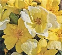 The Sunny Knock Out Rose