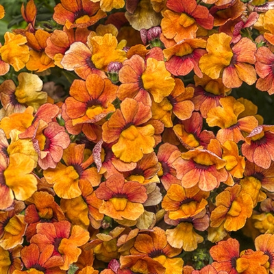 Sunsatia® Blood Orange Nemesia hybrid
