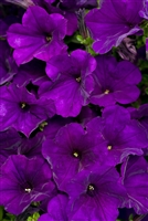 Petunia Supertunia® Royal Velvet hybrid