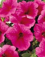 Supertunia® Trailing Strawberry Pink Veined