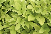 'Sweet Caroline Light Green' Sweet Potato Vine Ipomoea batatas